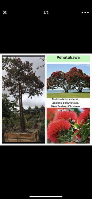 "Metrosideros excelsa , Zealand pohutukawa, New Zealand Christmas tree, 36"" box for Sale in Highland, CA"