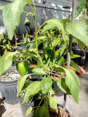 Pimentó/ Green Bell Pepper plant for Sale in Lake Wales, FL