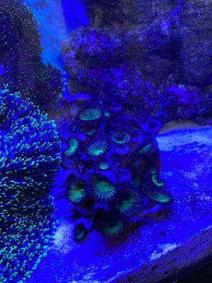 Saltwater coral for Sale in Everett, MA