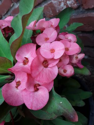 3 Gallon pot with crown of thorns plant for Sale in La Mirada, CA