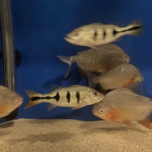Red Belly Pacu for Sale in Fremont, CA