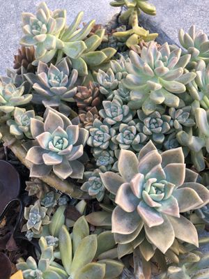 20 Succulent Clippings for Sale in Montclair, CA