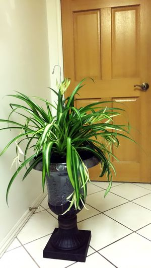 Beautiful and so healthy Spider Plant - Outdoor or Shade Place Plant - PLANTER IS NOT INCLUDED ( PLACE IT IN FRONT OF YOUR DOOR 🚪 ) for Sale in Santa Ana, CA