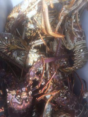 langosta fresca for Sale in Cutler Bay, FL