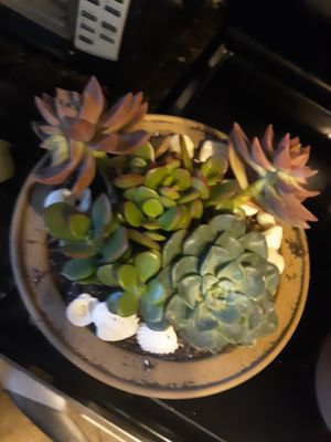 Beautiful live succulent arrangement for Sale in Chandler, AZ