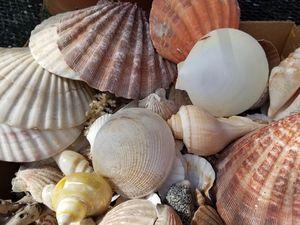 Beautiful Shells for Sale in Douglasville, GA