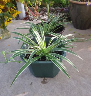 House plants$13-$14 each pot for Sale in St. Louis, MO