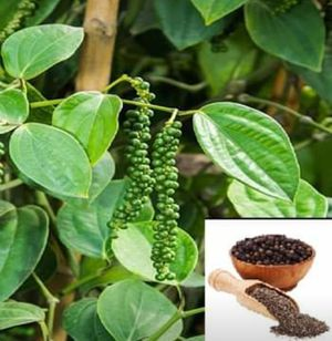 Black pepper vines enredaderas de pimienta negra for Sale in West Palm Beach, FL