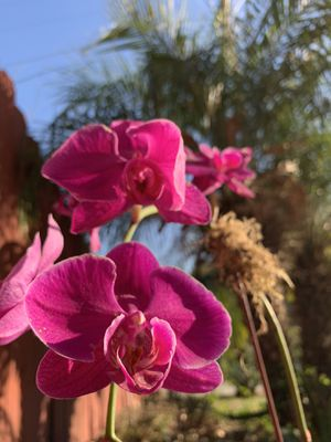 3 ORCHIDS FOR $25 plants plant indoor outdoor garden gardening fall autumn Halloween thanksgiving succulent cacti cute design women's ART HOME DECOR for Sale in Los Angeles, CA