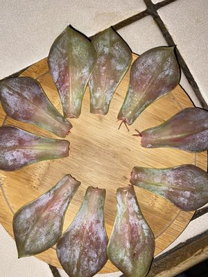 Succulent leaves for propagation for Sale in Whittier, CA