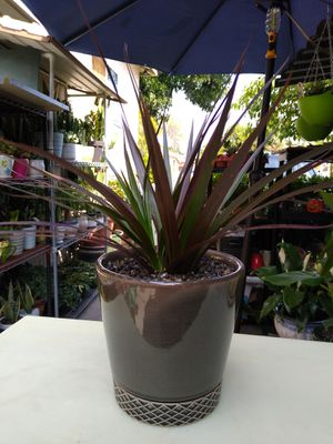 INDOOR PLANT & POT for Sale in Paramount, CA