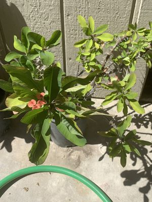 Crown of Thorns Euphorbia Milii succulent for Sale in Visalia, CA