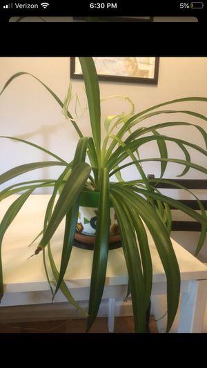 Hawaiian spider plant (house plant) for Sale in Alexandria, VA