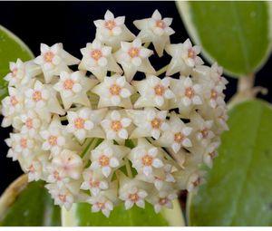"Hoya Verticillata Albomarginata starter plants in 4"" pot for Sale in Miami, FL"