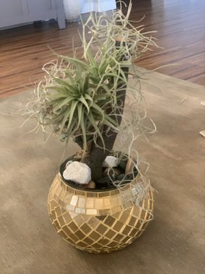 Air plant for Sale in Eastvale, CA