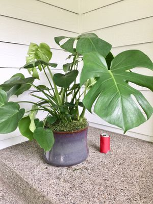 Real Indoor Houseplant - Swiss Cheese/ Philodendron Monstera Plants in Ceramic Planter Pot for Sale in Auburn, WA