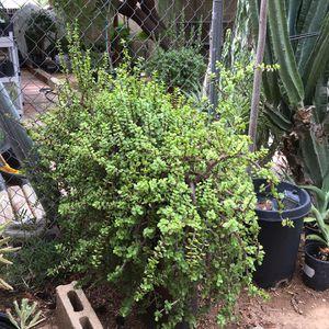 Large Elephant Food succulents. Portulacaria. for Sale in Phoenix, AZ