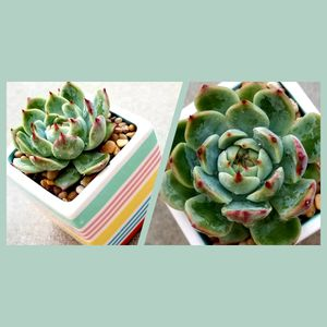Succulent in rainbow pot for Sale in Rowland Heights, CA