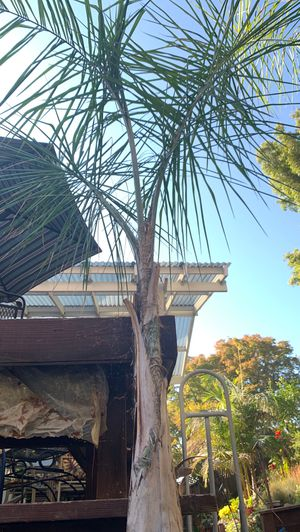 Royal Palm Tree for Sale in San Jose, CA