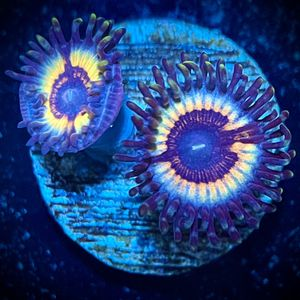 Aquarium decor Sonic Flare Zoa for Sale in Hialeah, FL