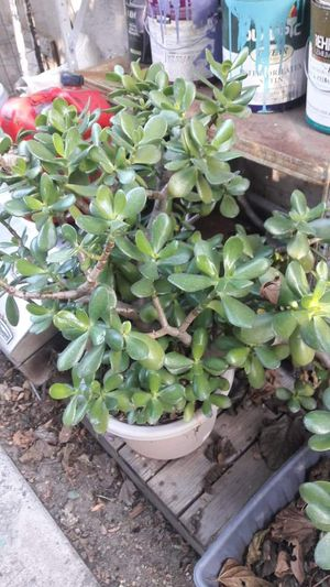 Large jade for Sale in Buena Park, CA