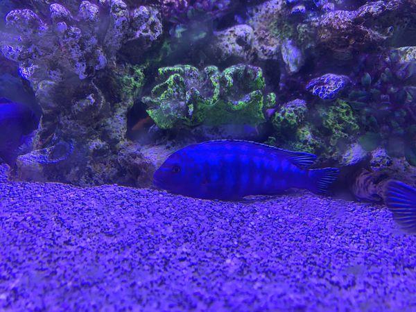 African cichlids fish