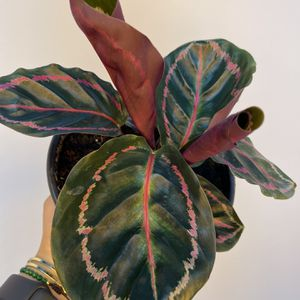 "Calathea Dottie 6"" for Sale in Orlando, FL"