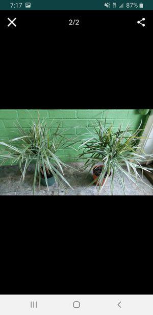 Marginata plant for Sale in Clinton, MD