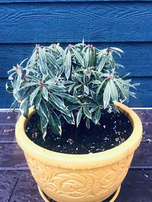 Lot of 5 shrubs for Sale in Royal Oak, MI
