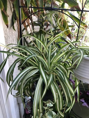 Spider plant with plenty of plant shoots for Sale in Coto de Caza, CA