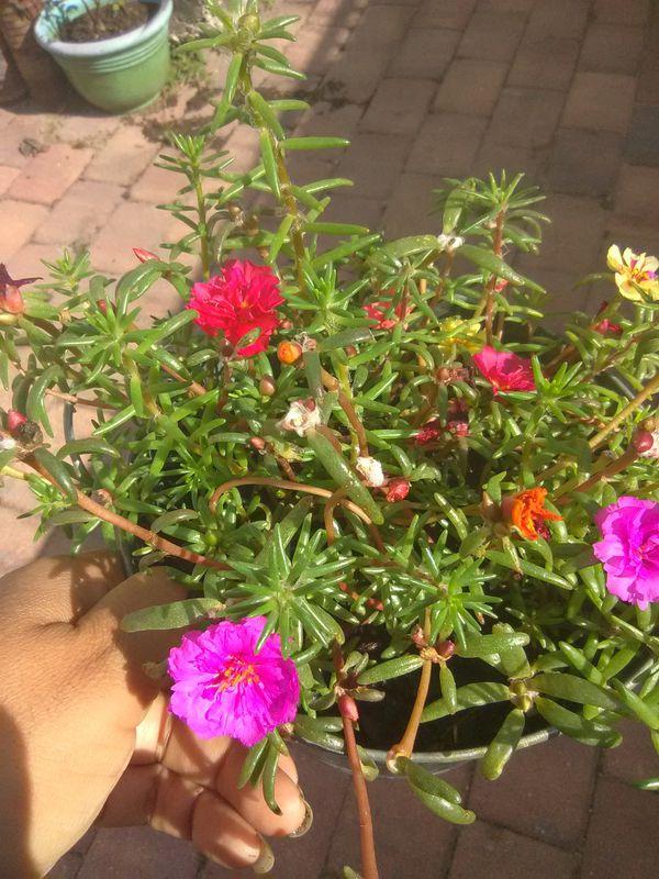 Tub of Flowering Succulent