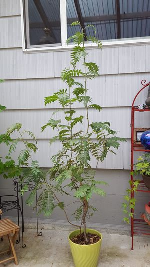 7' American mountain ash for Sale in University Place, WA