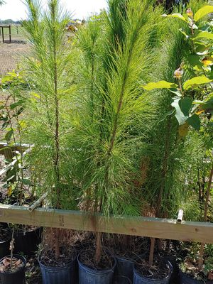 Pine Trees for Sale in Bartow, FL