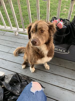 1.5 year old Australian Shepherd mix for Sale in Parkersburg, WV
