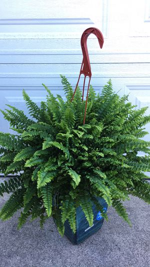 Very Healthy and Thick Ferns-Shade Plants-$12 each - Planter not included for Sale in Garden Grove, CA