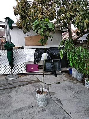 Avocado Tree for Sale in US