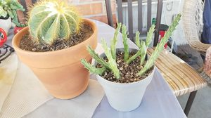 Cactus and starfish succulent for Sale in Downey, CA