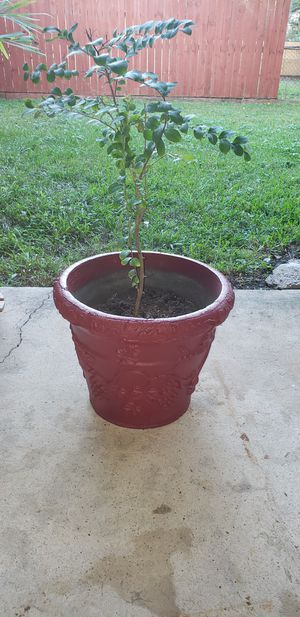 A RED POT WITH A 2 FEET TREE CRAPE MYRTLE BLOOM BEAUTIFUL DARK PINK FLOWERS. for Sale in Houston, TX