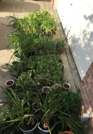 Asst plants, chives, leeks, day lilies, Autumn sedum also have ornamental grasses and mint. Joy little gem succulents for Sale in Berea, OH