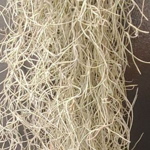 Live Spanish Moss - Airplant for Sale in Long Beach, CA