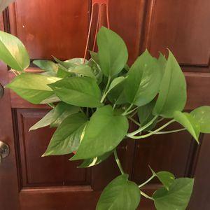 Live Plants ( Golden Pothos ) for Sale in Phoenix, AZ
