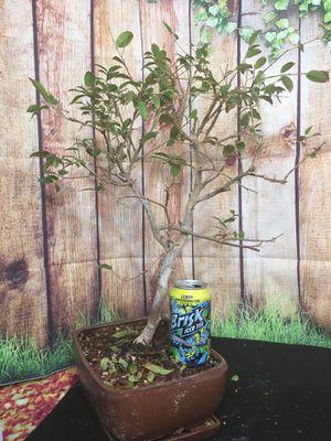 Bonsai: Jabuticaba, large for Sale in Malden, MA