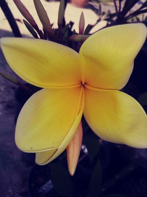 "PLUMERIA RARE ""AZTEC GOLD"" SOLID COLOR ROOTED CUTTING 2-3 tips in POTS w/ BLOOMS 💐. for Sale in Rosemead, CA"