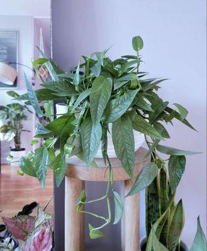 RARE Epipremnum pinnatum Cebu Blue mother plant for Sale in Los Angeles, CA