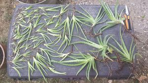 Aloe Vera Plants for Sale in Swansea, IL