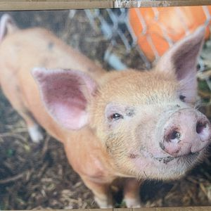 Canvas Frame Pig for Sale in Houston, TX