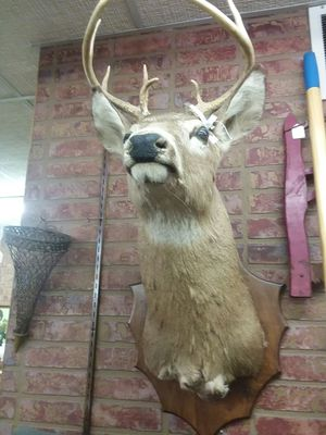 Taxidermied Mounted Buck Head for Sale in Sunbury, OH