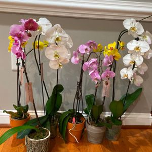 Orchid Plants for Sale in Falls Church, VA