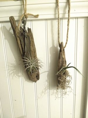 Air plants for Sale in Beaver Falls, PA