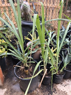 Sugar cane plants for Sale in National City, CA